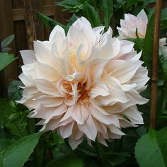 I love this dahlia color! Perfect color...pale pink I think.