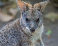 Help save Australian owls, koalas and the endangered potoroo from a highway development