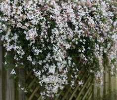 Common Jasmine (gelsomino in Italian). Giacinta's father brought these flowers to Venice from Sicily.