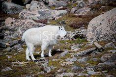Wild mountain goat high on the tundra