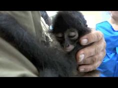 Izzie's story - the baby spider monkey rescued from poachers :: sad video but she's getting help now :)