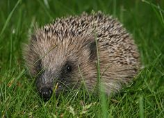 Explore Animals: Hoping for a Hedgehog? 10 Things to Know Before Br...