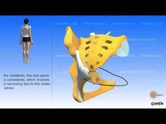 Female pelvis and male pelvis 3d Anatomy, Lyon, Disney Characters, Fictional Characters, Female, Muscle, Youtube, Sunday School, Feminine