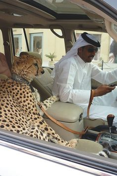 Cheetahs are not exactly a dime a dozen in Dubai, but they are also not uncommon. The fat cats of Dubai can have anything they want, and this guy wanted a cheetah who was able to ride shotgun. Abu Dhabi, Meanwhile In, Dubai Travel, Dubai Vacation, Cheetahs, Dubai Uae, Dubai Hotel, United Arab Emirates, Big Cats