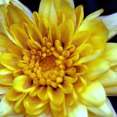 pictures of flowers in yellow - Google Search