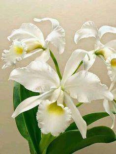 White fragrance cattleya