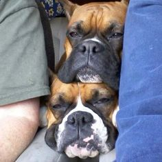 Boxers have to be in on the action! I guess they didn't want to miss all the action sitting in the back seat