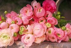 PERSIAN BUTTERCUP (Ranunculus Asiaticus) perennial, 30-45 cm, full sun/part shade, blooming up to 6 weeks !!!!