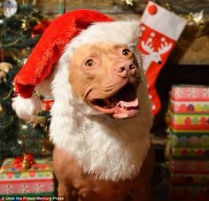 Merry merry: The pit bull is seen dressed as Santa Claus in this adorable Christmas shot