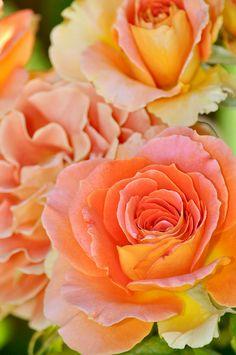 Orange hybrid tea rose