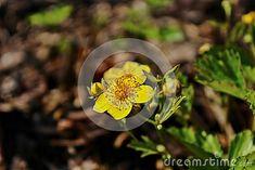 Spring flower - Closeup of a Potentilla fruticosa
