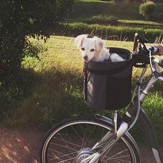 Going for a ride with my mum I like that #rescuedog #pupswithapersonality #dogstagram #dogsofinstagram #dailydoseofcute #dailyfluff #AdoptDontShop #corfudogs #stichtingaai #dogsonbikes#mooiehond #myhumanrocks #dogslife  by pukkieslife