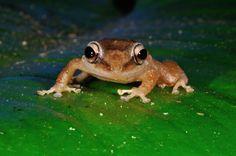 Coqui, frog of Puerto Rico