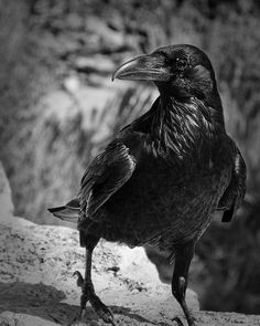 Raven by paigeh, via Flickr