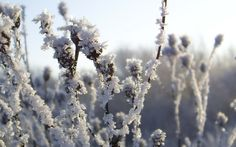 Field plants at a frost
