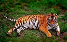 Scarica sfondi Amur tiger, predator, tiger, green grass, wildlife