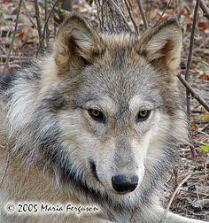 Beautiful Wolf pup