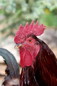 Rooster / Ruth Tait photo Roosters, Farm Life, Country Life, Fly Fishing, Tigers, Lions, Feathers, Doodle, Bears