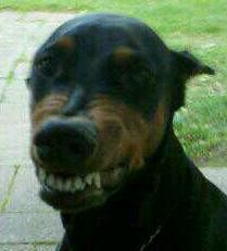 A look that sends strangers up trees but makes Doberman moms laugh. The Dobe smile =)