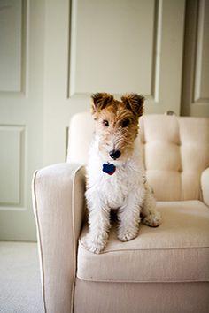 Looks like my Asta! Such a cute wire fox terrier.