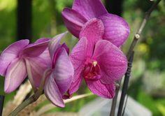 Les étapes du rempotage de l'orchidée (phalaenopsis) à suivre en vidéo.
