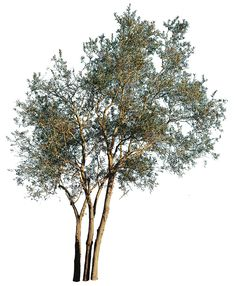 3403 x 4127 pixels image. Photo with transparent background. TIFF file, 29,3 MB, ready to download. Olea europaea Olive tree; Olivier; Olivo; Oliveira.