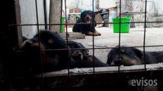 Cachorros rottweiler rottweiler rotweillers rotweiller cachorros rottweiler, , se entregan a los 45 dias, con las vacunas correspondientes, desparacitados ... http://villa-mercedes-city.evisos.com.ar/cachorros-rottweiler-rottweiler-rotweillers-rotweiller-id-979714