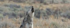 Demand that FWS Withdraws Its Wolf Delisting Proposal. The U.S. Fish and Wildlife Service is proposing to remove Endangered Species Act protection for most gray wolves across the United States. This decision could forever change the future of gray wolf conservation in our country. Gray wolf recovery in the U.S. is not complete. These wolves face…Read More