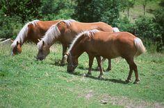 3 Haflinger beim Landhotel Spreitzhofer. Horses, Animals, Kids Animals, Animais, Animales, Animaux, Animal Books, Horse, Animal