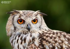 Beautiful and amazing pictures of Owl III
