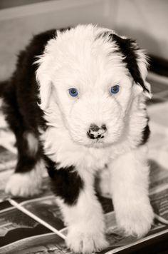 Chopper, Sheepdog puppy @ Sherrier Shaggy Bottoms.  Check us out on Facebook http://www.facebook.com/shaggybottoms