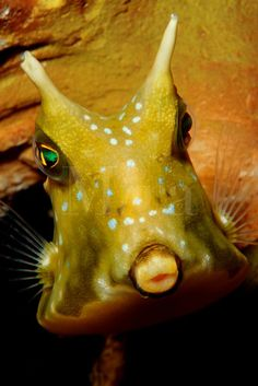 I always think of these like little UFOs... Longhorn cowfish, Lactoria cornuta, are found in the tropical Pacific. Papua New Guinea, Pacific Ocean
