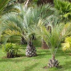Pindo Palm on Fast Growing Trees Nursery Palm Trees Landscaping, Tropical Landscaping, Landscaping With Rocks, Tropical Garden, Tropical Plants, Landscaping Ideas, Landscaping Software, Corner Landscaping, Arizona Landscaping