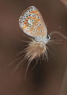 common blue butterfly Wow! #photographytalk #macrophotography