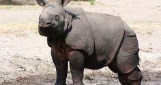 كيف يتم تزاوج وحيد القرن ؟