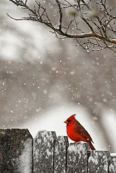 This little Cardinal sitting on a snowy fence would make a beautiful Christmas card. That pop of red against the greys, whites, and blacks is striking.