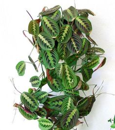 Plantes à motifs : La Maranta Leucomera