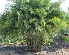 Tipos de palmas cuidados de las palmeras plantas zona for Palmeras plantas de interior