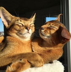 Kitten Love, I Love Cats, Cute Cats, Baby Cats, Cats And Kittens, Animals And Pets, Cute Animals, Abyssinian, Cattery
