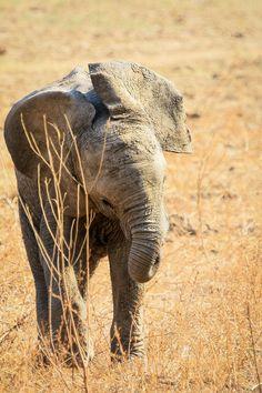 Elephant Calf, Luangwa, Zambia