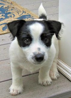 The Daily Puppy William the Jack Russell Terrier