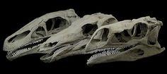 Dinosaur Skull Type.  A new study into the bite force of Stegosaurus.