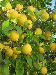 Yellow Lemons. In the garden of Mathraki Resort.