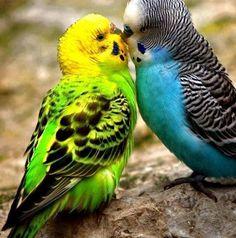 Parakeet couple Animal HD desktop wallpaper, Bird wallpaper, Parakeet wallpaper - Animals no. Cute Birds, Pretty Birds, Beautiful Birds, Funny Birds, Birds 2, Angry Birds, Animals And Pets, Cute Animals, Budgies