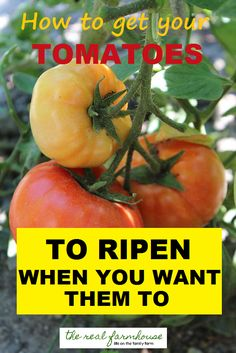 Ready for your green tomatoes to start changing? Let me show you how to get them to ripen right when you want them to