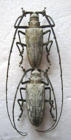 1 pair Batocera sp from Banda Is Lamiinae