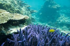 Purple coral - Under the sea in Vanuatu - South Pacific. One of my personal photographs.