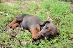 I want a dachshund puppy like this!!