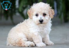Cooper | Maltipoo Puppy For Sale | Keystone Puppies  #Maltipoo #KeystonePuppies