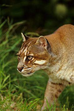 Temminck's or Asian Golden Cat (Catopuma temmincki) Southeast Asia